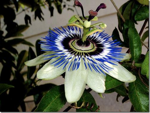 Квітка пристрасті