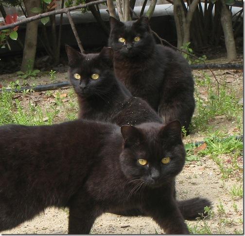 Сімейство чорних котів