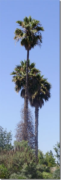 Каліфорнійські пальми