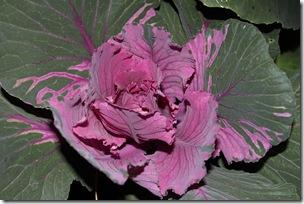 Рожева капустина біля Google