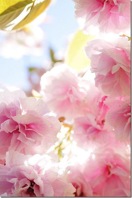 Рожева сакура