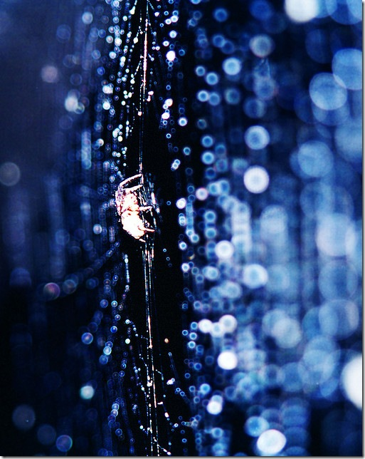 Spider in the blue web full of drops