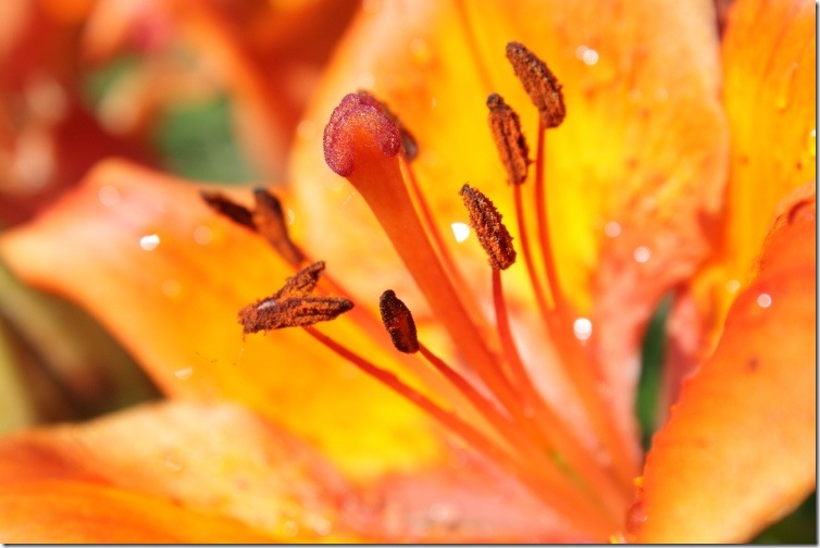 Pulen-blog - Оранжева лілія