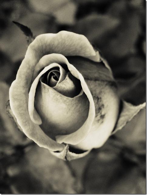 Pulen.info - Троянда