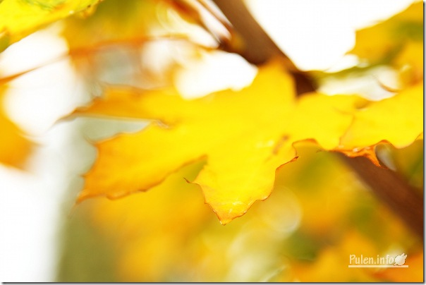 @ Pulen.info - Золота осінь - Bright yellow leaf