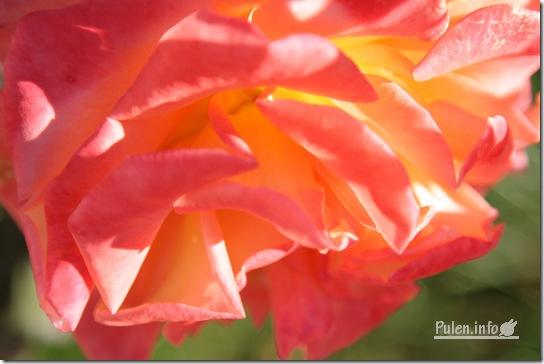 pulen.info - Сонячна троянда