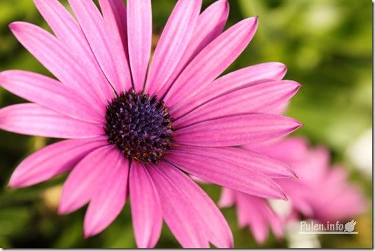 Pulen.info - Pink daisy
