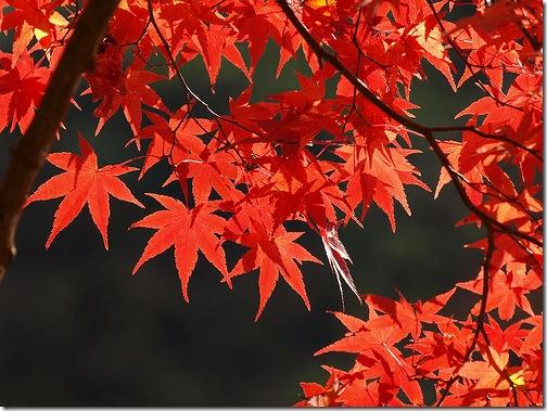 Багряна осінь - pulen.info
