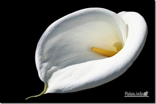 White calla full small