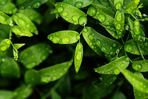 Green leaves with drops