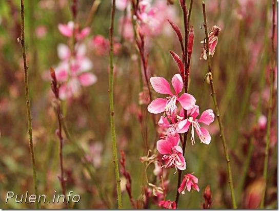 Pink flowers - Pulen.info
