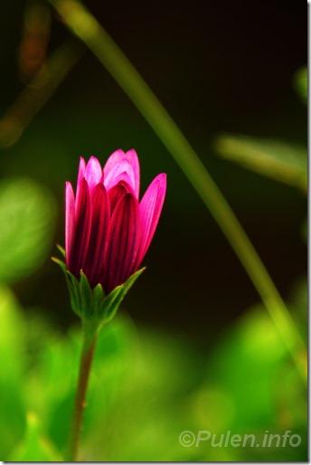 Pink daisy bud