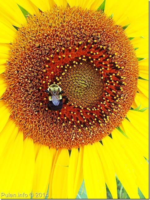 Бджола на соняшнику